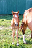 Piccolo puledro del cavallo vicino alla madre su erba verde all'azienda agricola Immagine Stock