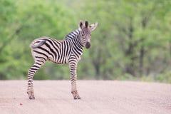 Piccolo puledro della zebra che sta sulla strada da solo che cerca sua madre Immagine Stock