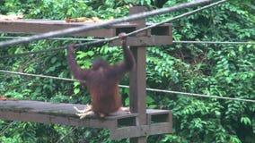 Piccolo pygmaeus del pongo degli orangutan che mangia frutta alla piattaforma d'alimentazione animale endemico pericoloso del Bor stock footage
