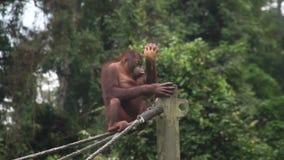 Piccolo pygmaeus del pongo dell'orangutan che mangia noce di cocco animale endemico pericoloso del Borneo video d archivio
