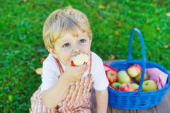 Piccolo ragazzo del bambino che seleziona le mele rosse in frutteto immagini stock libere da diritti