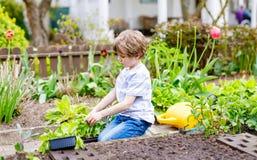 Piccolo ragazzo prescolare sveglio del bambino che pianta le piantine dell'insalata verde in primavera Immagine Stock