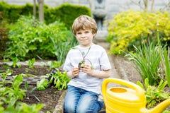 Piccolo ragazzo prescolare sveglio del bambino che pianta le piantine dell'insalata verde in primavera Fotografie Stock