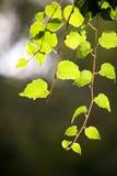 Piccolo ramoscello del vino Fotografia Stock