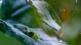 Piccolo rana di albero verde che si siede su una foglia nella pioggia immagine stock libera da diritti