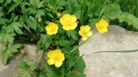 Piccolo ranuncolo giallo sulla pietra naturale della sabbia in Germania immagine stock libera da diritti