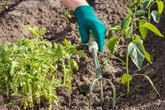 Piccolo rastrello di giardino della mano utilizzato per l'allentamento del suolo intorno al seedli Immagini Stock