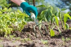 Piccolo rastrello di giardino della mano utilizzato per l'allentamento del suolo intorno al seedli Immagine Stock Libera da Diritti