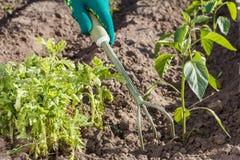 Piccolo rastrello di giardino della mano utilizzato per l'allentamento del suolo intorno al seedli Fotografia Stock Libera da Diritti