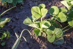 Piccolo rastrello di giardino della mano utilizzato per l'allentamento del suolo intorno allo strawb Fotografia Stock Libera da Diritti