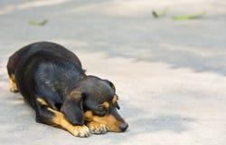 Piccolo riposo del cane del bassotto tedesco Immagini Stock