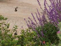 Piccolo ritorno degli uccelli di ronzio ad una pianta favorita fotografia stock libera da diritti