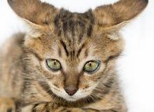 Piccolo ritratto grigio del gattino su Immagini Stock