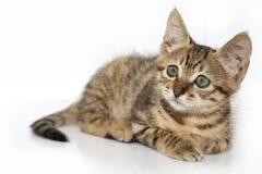 Piccolo ritratto grigio del gattino su Fotografie Stock