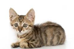Piccolo ritratto grigio del gattino su Immagine Stock Libera da Diritti