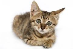 Piccolo ritratto grigio del gattino su Immagini Stock Libere da Diritti