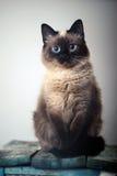 Piccolo ritratto grigio del gattino su su fondo bianco Immagine Stock Libera da Diritti