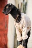 Piccolo ritratto vestito della capra Fotografie Stock