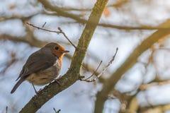 Piccolo Robin alla luce solare dorata Fotografia Stock Libera da Diritti