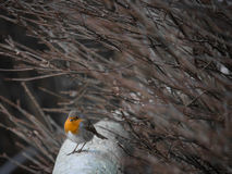 Piccolo Robin Red Breast Fotografie Stock