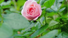 Piccolo rosa è aumentato fra le foglie verdi Movimento della macchina fotografica dal mezzo al primo piano ed al cambiamento dell video d archivio