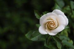 Piccolo rosa bianca Fotografie Stock Libere da Diritti