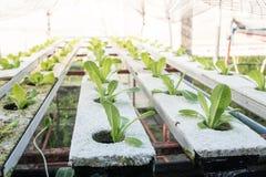 Piccolo rown della verdura di insalata o delle piante dal sistema di coltura idroponica Fotografie Stock Libere da Diritti