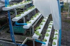 Piccolo rown della verdura di insalata o delle piante dal sistema di coltura idroponica Immagine Stock