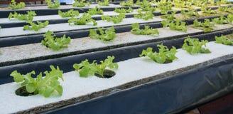 Piccolo rown della verdura di insalata o delle piante dal sistema di coltura idroponica Fotografia Stock