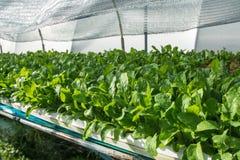 Piccolo rown della verdura di insalata o delle piante dal sistema di coltura idroponica Fotografia Stock Libera da Diritti