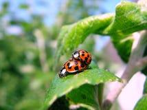 Piccolo scarabeo Immagine Stock Libera da Diritti