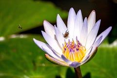 Piccolo scarabeo che cammina sopra un giglio bianco fotografie stock