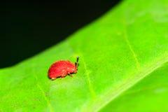 Piccolo scarabeo di foglia rosso Masoala Immagini Stock