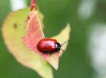 Piccolo scarabeo rosso Fotografie Stock Libere da Diritti