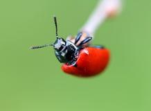 Piccolo scarabeo rosso Fotografia Stock Libera da Diritti