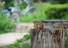 Piccolo scoiattolo immagini stock libere da diritti
