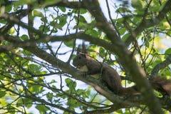 Piccolo scoiattolo Fotografia Stock