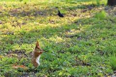 Piccolo scoiattolo arancio pasce in un prato soleggiato di un parco della città fotografia stock