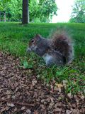 Piccolo scoiattolo che mangia nell'erba fotografia stock