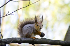 Piccolo scoiattolo con il dado Fotografia Stock