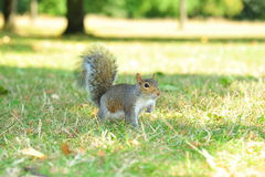 Piccolo scoiattolo curioso Fotografia Stock Libera da Diritti