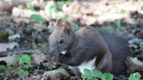 Piccolo scoiattolo grigio che si siede tranquillamente sulla terra e che mangia una nocciola circondata con le foglie di autunno  stock footage