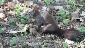 Piccolo scoiattolo grigio con la grande coda densa che si siede sulle foglie cadute e che mangia una nocciola archivi video
