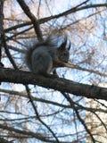 Piccolo scoiattolo lanuginoso divertente che mangia una nocciola su un ramo di albero fotografia stock