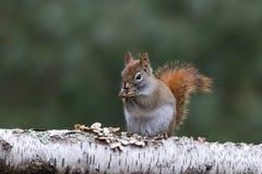 Piccolo scoiattolo rosso che si siede su un ramo della betulla Fotografia Stock