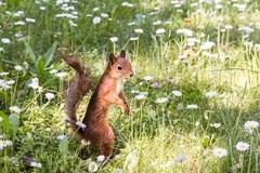 Piccolo scoiattolo rosso che sta sull'erba con flusso sbocciante della margherita Fotografie Stock Libere da Diritti