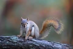 Piccolo scoiattolo rosso nella caduta fotografia stock libera da diritti