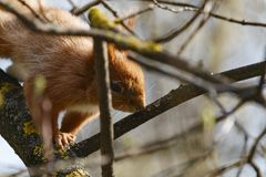 Piccolo scoiattolo rosso prima del salto su un primo piano del ramo immagine stock libera da diritti