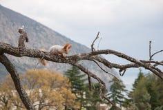Piccolo scoiattolo rosso simile a pelliccia senza un piede sul ramo nei precedenti degli alberi immagini stock
