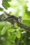 Piccolo scoiattolo sul ramo Fotografia Stock Libera da Diritti